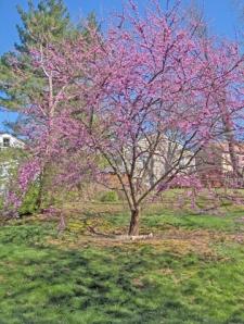 My Red-Bud Tree